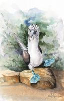 100-317 Blue footed Boobie