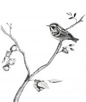 100-217 Black and White Warbler