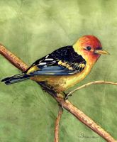 100-208 Western Tanager