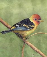 100-208 Western Tanager 2011