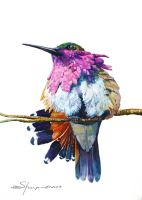 100-229 Wine Throated Hummingbird