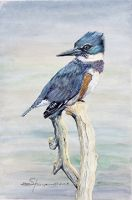 100-249 Belted Kingfisher