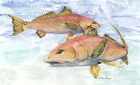 300-386 Florida Redfish