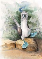 100-3`7 Blue Footed Booby