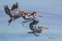 100-255 brown pelican
