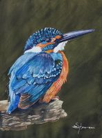 100-253 Eurasian Kingfisher